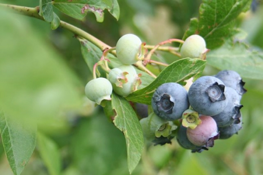 Wild blueberries (bilberries) can help tackle the adverse effects of a high-fat diet