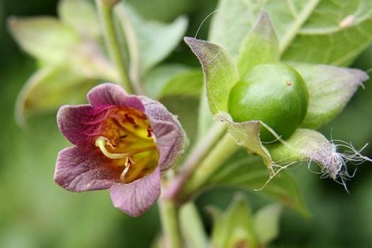deadly-nightshade-plants-and-arthritis