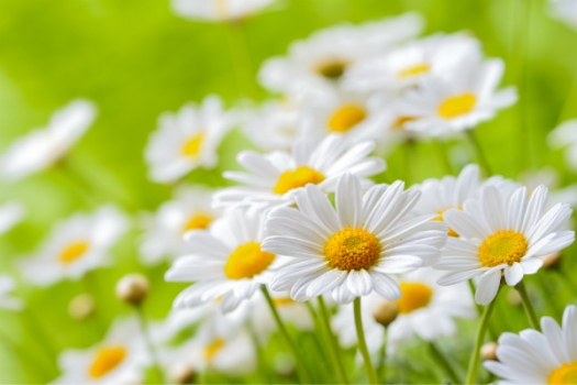 Chamomile and osteoarthritis of the knee
