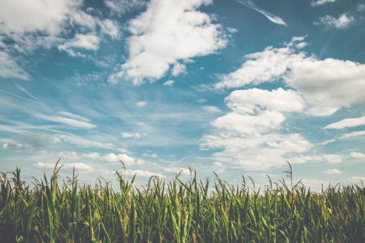 corn-fields-under-white-clouds-with-blue-sky-during-daytime-158827